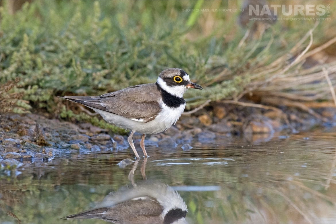 A Little Ringed Plover takes a dio in one of the drinking pools photographed during the Spanish Birdlife of Toledo Photography Holiday