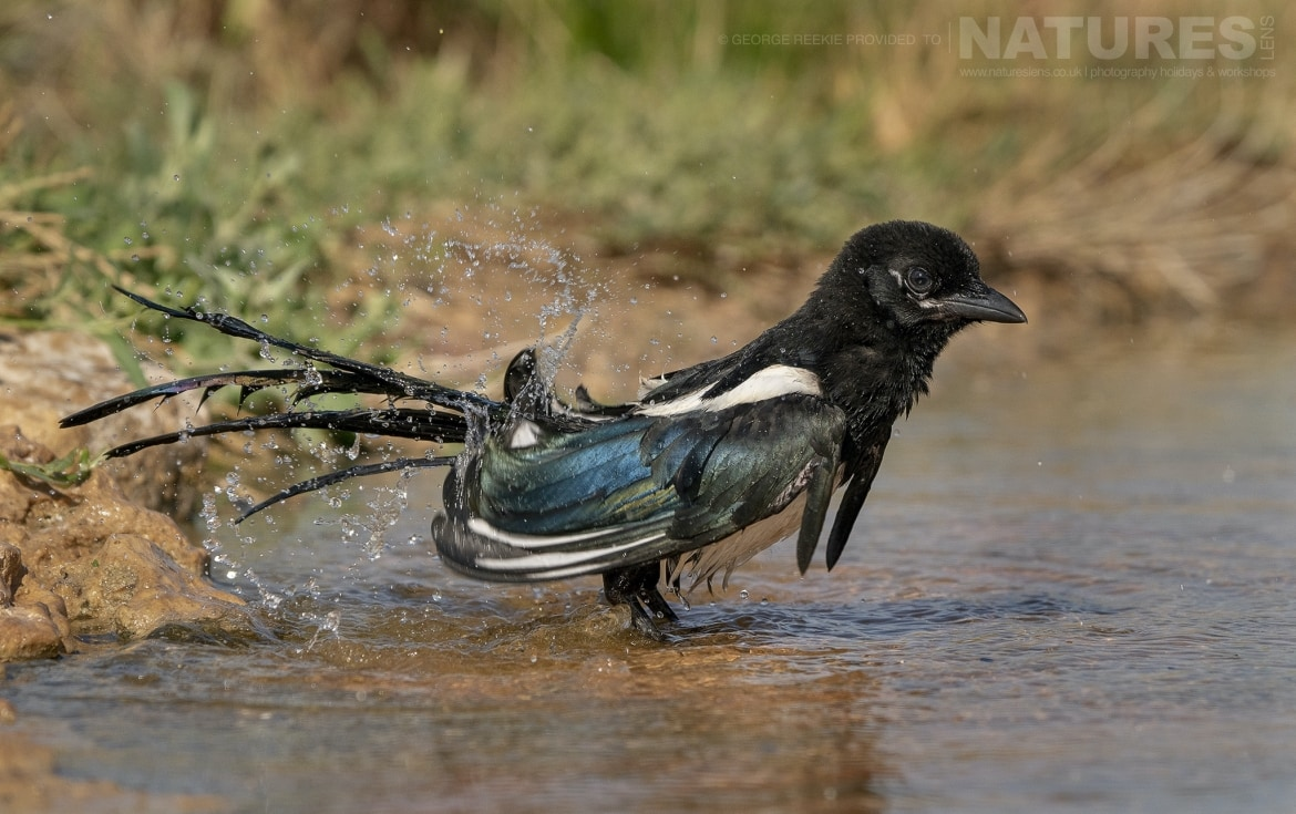 A Magpie drinking from one of the estates many water holes photographed during the NaturesLens Spanish Birds of Toldeo photography holiday
