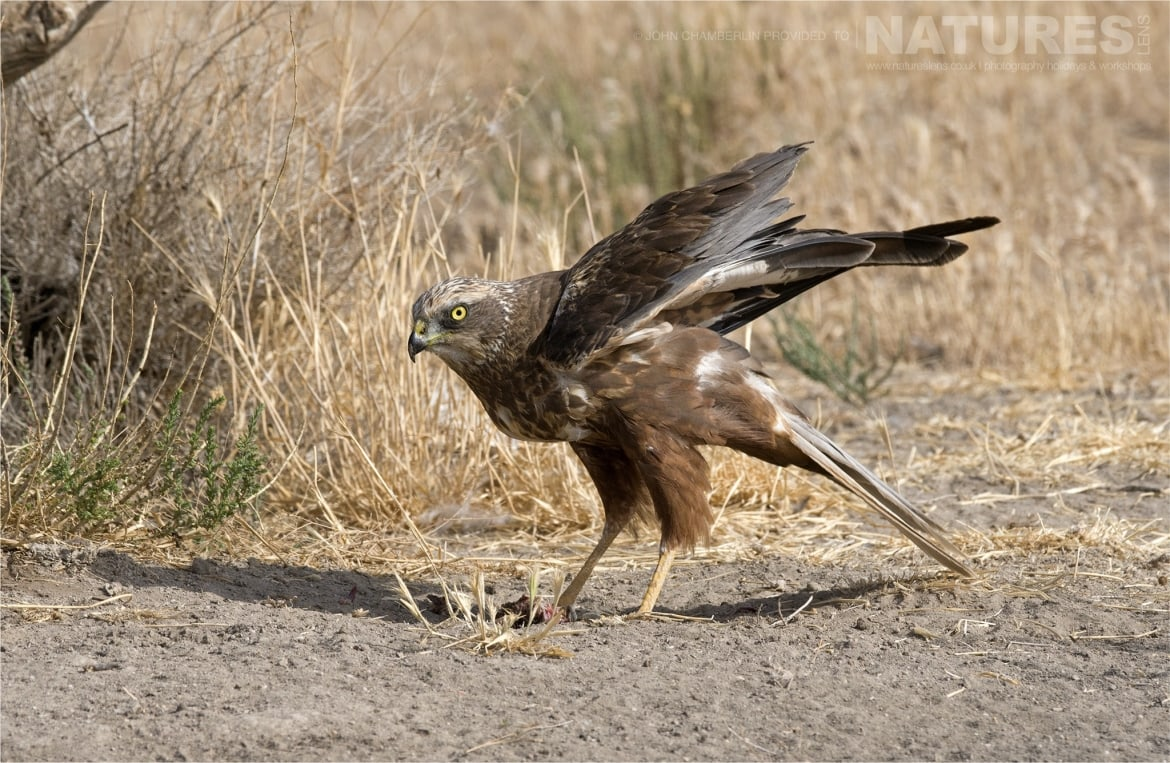 A Marsh Harrier lands at the dedicated harrier hide photographed during the Spanish Birdlife of Toledo Photography Holiday