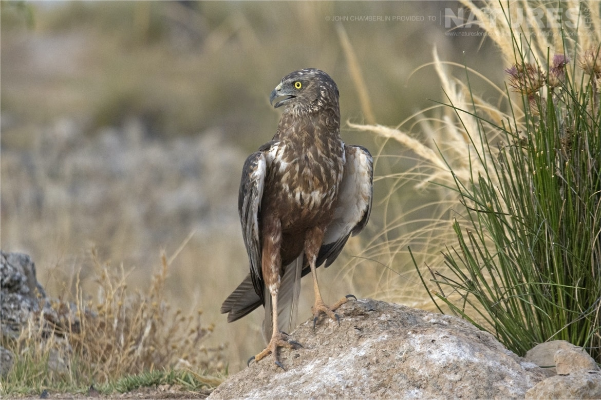 A Marsh Harrier rests outside the hide dedicated to this amazing bird photographed during the Spanish Birdlife of Toledo Photography Holiday