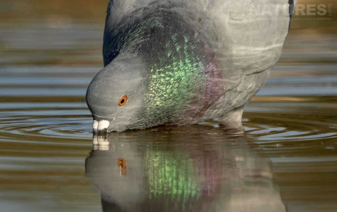 A Rock Pigeon drinking from one of the estates many water holes photographed during the NaturesLens Spanish Birds of Toldeo photography holiday