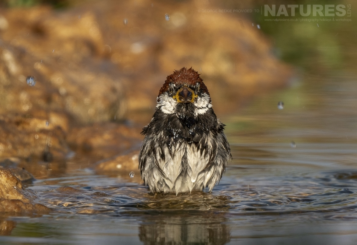 A Spanish Sparrow in one of the estates many water holes photographed during the NaturesLens Spanish Birds of Toldeo photography holiday