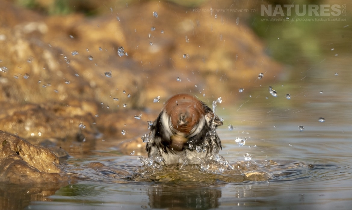 A Spanish Sparrow washing in one of the estates many water holes photographed during the NaturesLens Spanish Birds of Toldeo photography holiday