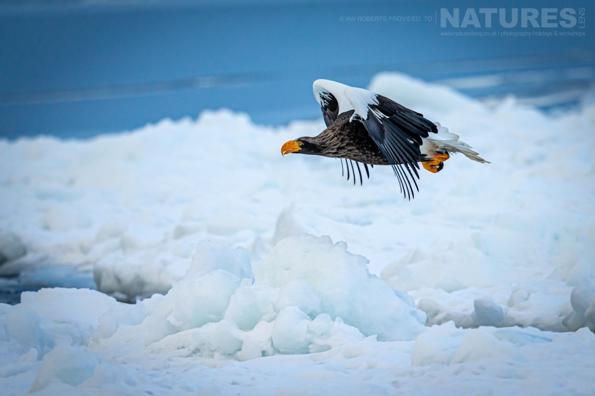 A Stellers Sea Eagle flies above the drift ice outside of Rausu photographed during the NaturesLens Winter Wildlife of Hokkaido Japan Photography Holiday