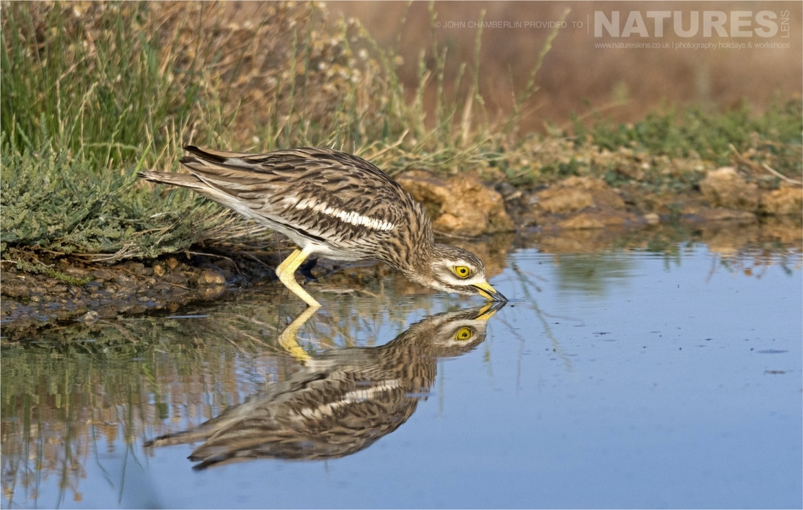 A Stone Curlew its reflection at one of the drinking pools photographed during the Spanish Birdlife of Toledo Photography Holiday