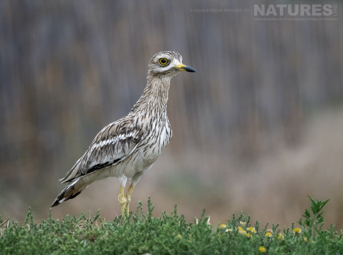 A Stone Curlew pauses in the falling rain photographed during the NaturesLens Spanish Birds of Toldeo photography holiday