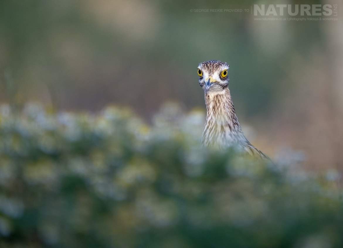 A Stone Curlew peeks above the foliage photographed during the NaturesLens Spanish Birdlife of Toledo photography holiday