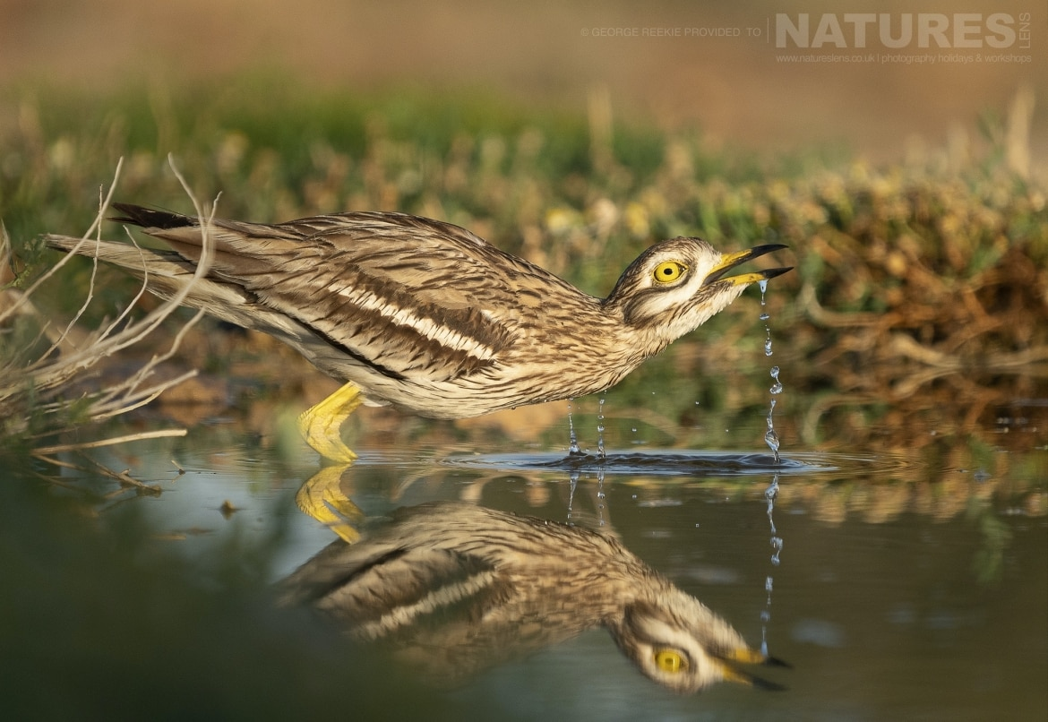 A Stone Curlew reflected whilst drinking from one of the estates many water holes photographed during the NaturesLens Spanish Birdlife of Toledo photography holiday