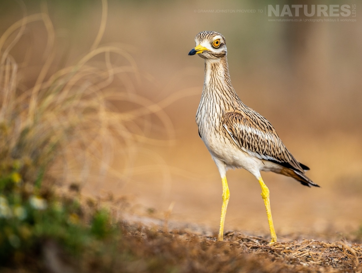 A Stone Curlew strides towards one of the estates many water holes photographed during the NaturesLens Spanish Wildlife Birdlife of Toledo Photography Holiday