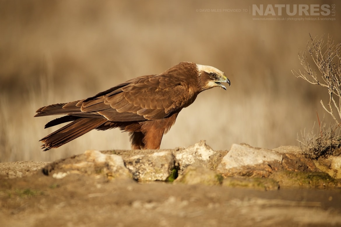 A Western Marsh Harrier calling photographed during the NaturesLens Winter Raptors of Toledo Photography Holiday