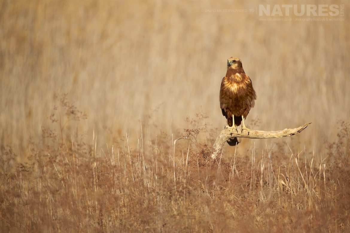 A Western Marsh Harrier perched on a fallen tree photographed during the NaturesLens Winter Raptors of Toledo Photography Holiday