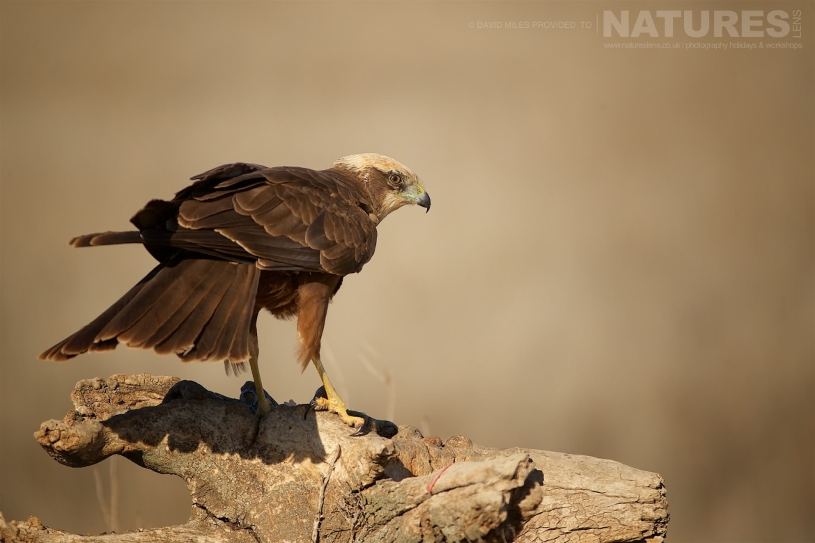 A Western Marsh Harrier perched on a section of fallen tree photographed during the NaturesLens Winter Raptors of Toledo Photography Holiday