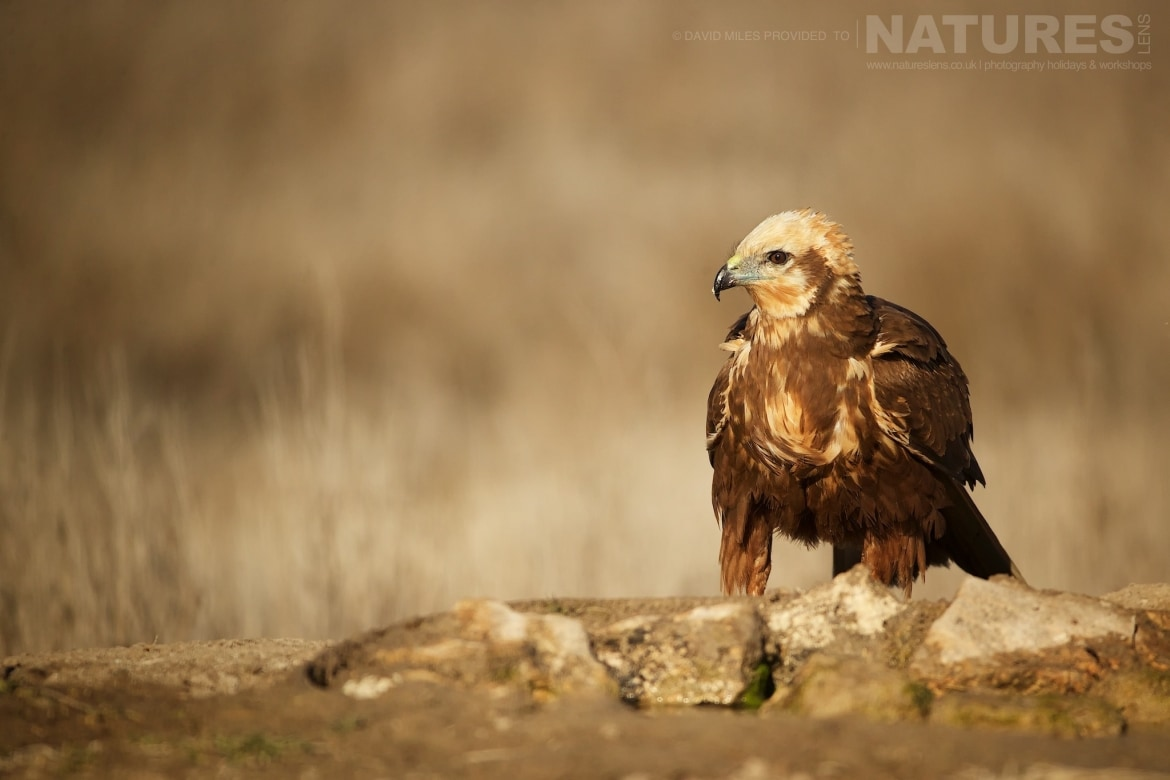 A Western Marsh Harrier stood on a rocky outcrop photographed during the NaturesLens Winter Raptors of Toledo Photography Holiday