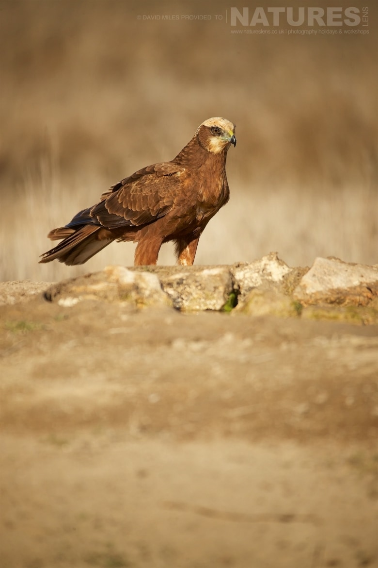 A Western Marsh Harrier stsnding on a rocky outcrop photographed during the NaturesLens Winter Raptors of Toledo Photography Holiday