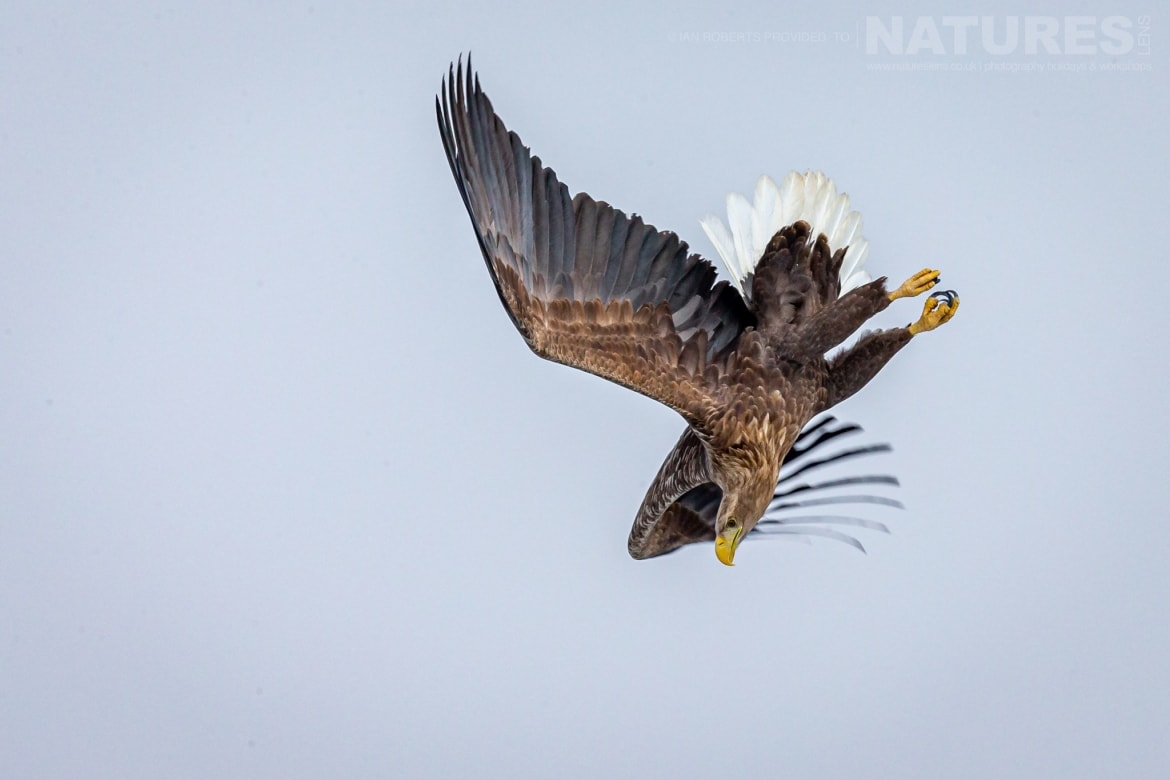 A White Tailed Sea Eagle dives towards the drift ice outside of Rausu photographed during the NaturesLens Winter Wildlife of Hokkaido Japan Photography Holiday