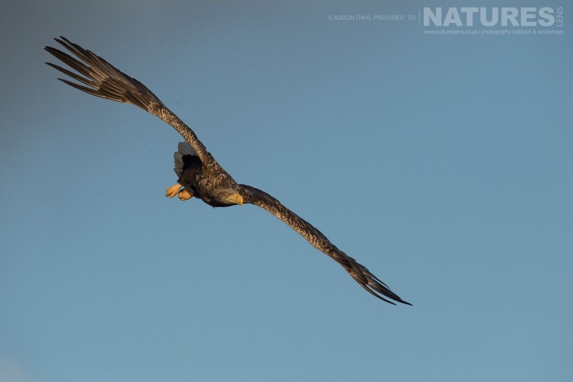 A White tailed Eagle dives towards the ice cold waters photographed at the locations used for the NaturesLens Winters White tailed Eagles of Norway photography holiday