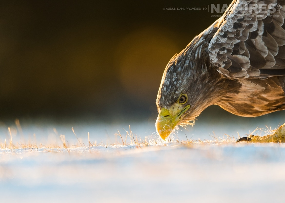 A White tailed Eagle seeks out the smallest piece of food photographed at the locations used for the NaturesLens Winters White tailed Eagles of Norway photography holiday