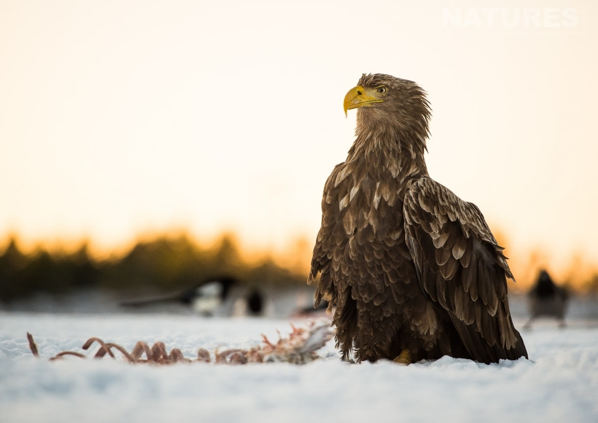 A White tailed Eagle stood on the snow photographed at the locations used for the NaturesLens Winters White tailed Eagles of Norway photography holiday