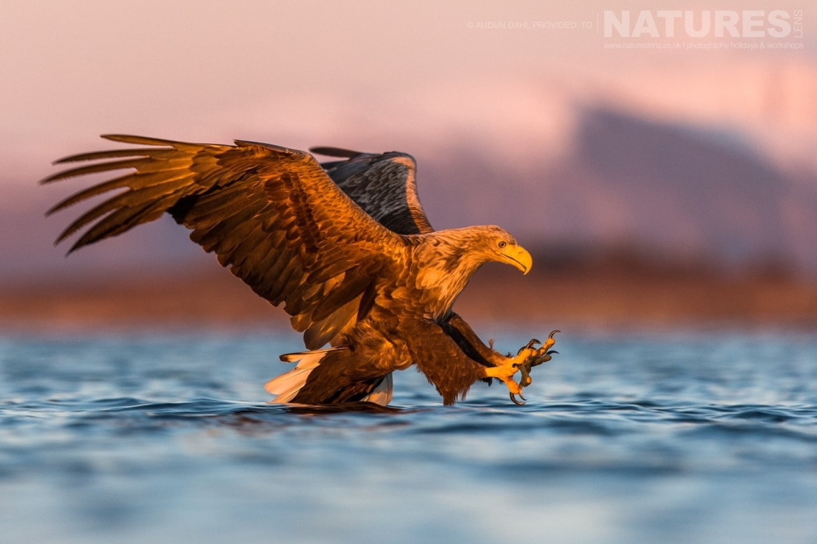 A White tailed Eagledives into the sea photographed at the locations used for the NaturesLens Winters White tailed Eagles of Norway photography holiday