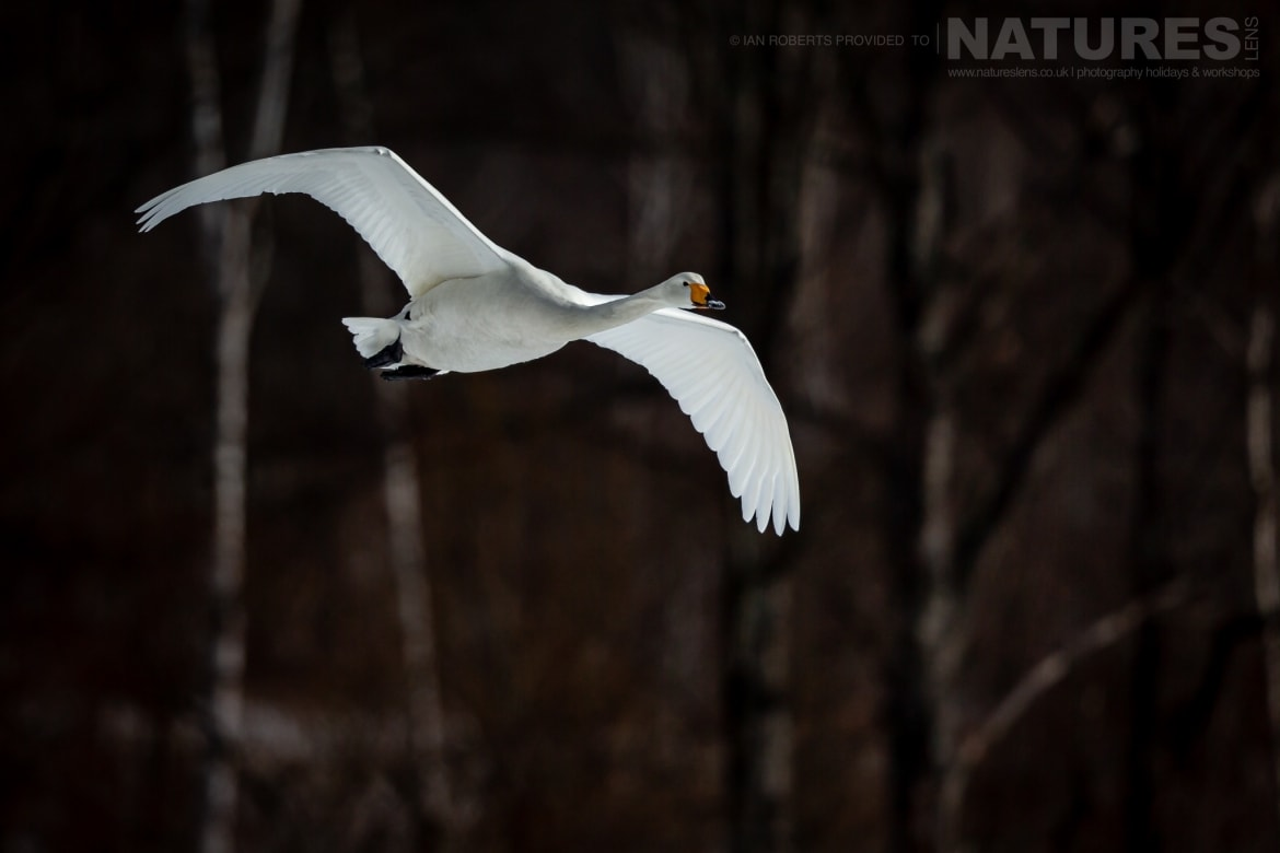 A Whooper Swan flies above the snow laden fields photographed during the NaturesLens Winter Wildlife of Hokkaido Japan Photography Holiday