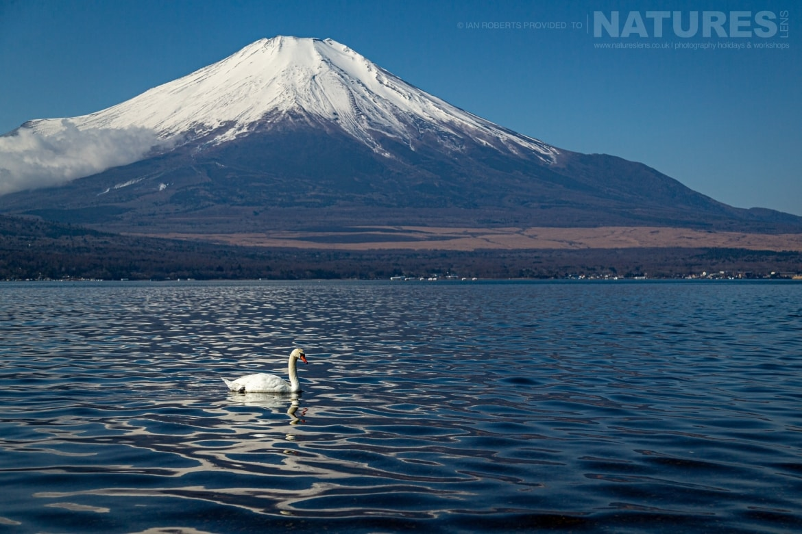 A Whooper Swan floats gently on a lake with Mount Fuji in the background photographed during the NaturesLens Winter Wildlife of Hokkaido Japan Photography Holiday