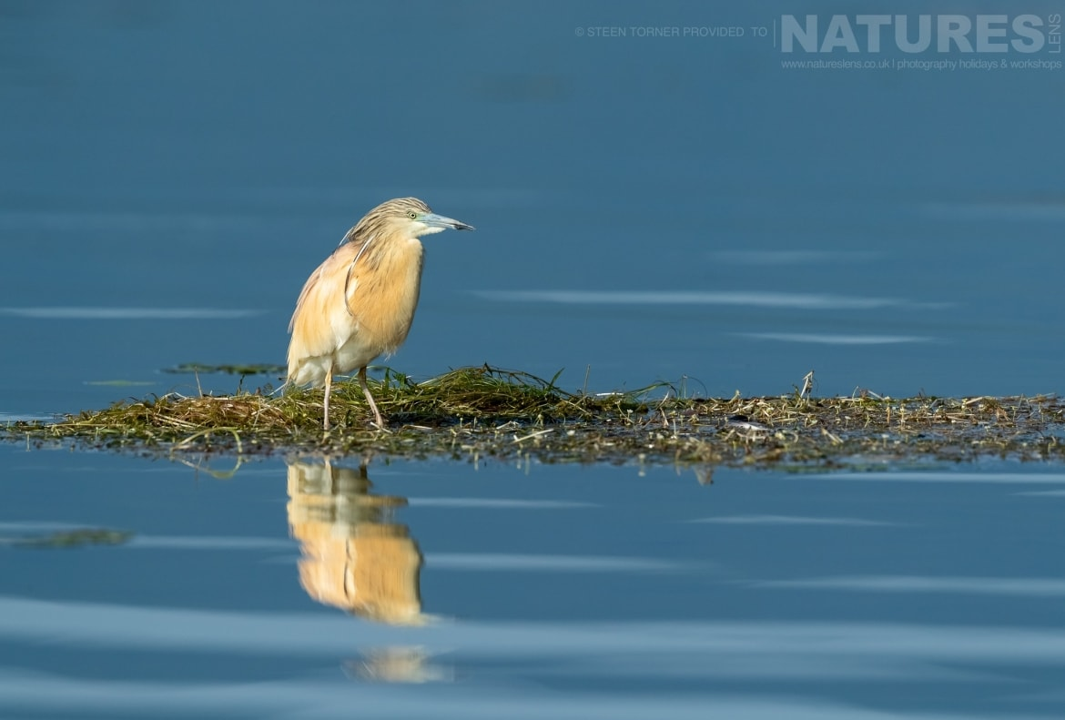 A beautfully reflected squacco heron in the dead forest found on Lake Kerkini photographed during the Spring Birds of Kerkini photography Holiday conducted by NaturesLens
