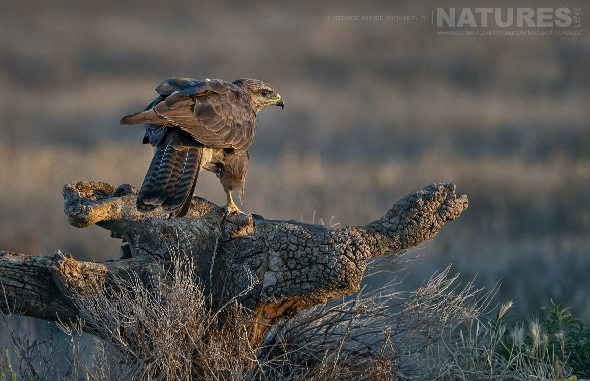 A buzzard caught on a perch as the sun rose over the estate photographed during the NaturesLens Spanish Birds of Toldeo photography holiday