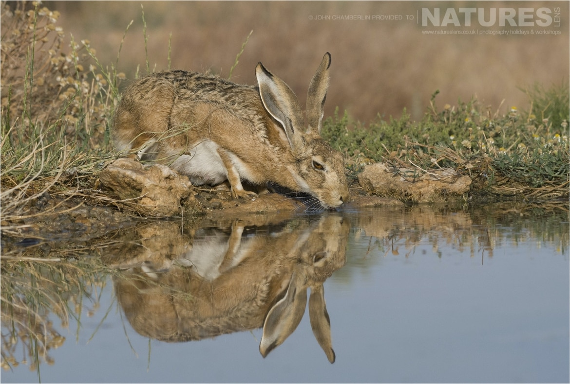 A cheeky Hare drinking from one of the drinking areas photographed during the Spanish Birdlife of Toledo Photography Holiday