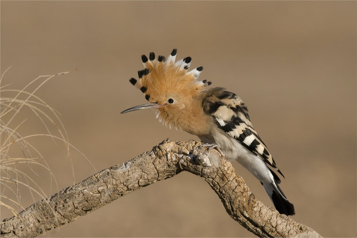 A crouched Hoopoe photographed during the Spanish Birdlife of Toledo Photography Holiday 1