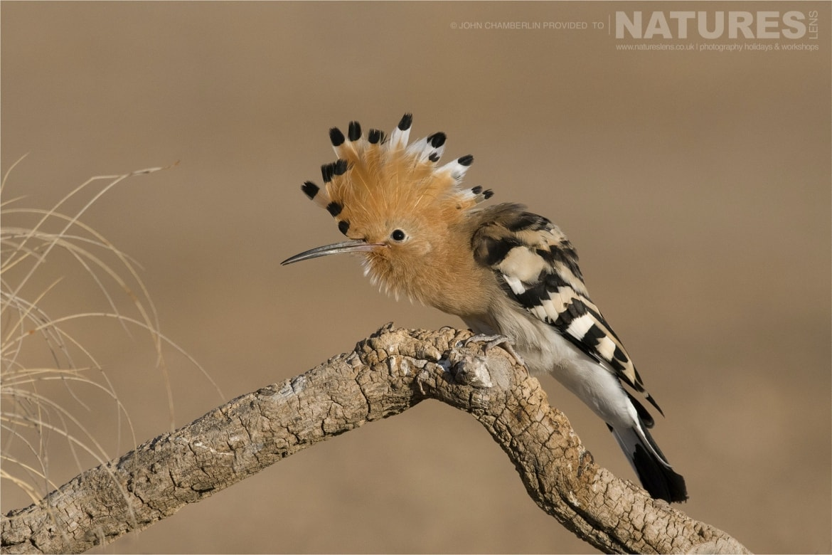 A crouched Hoopoe photographed during the Spanish Birdlife of Toledo Photography Holiday