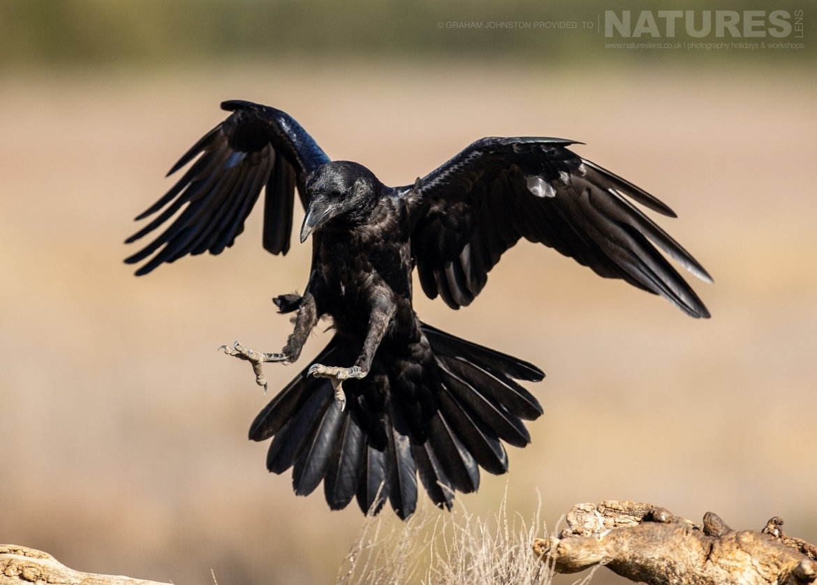 A crow comes in to land in front of the hides photographed during the NaturesLens Spanish Wildlife Birdlife of Toledo Photography Holiday