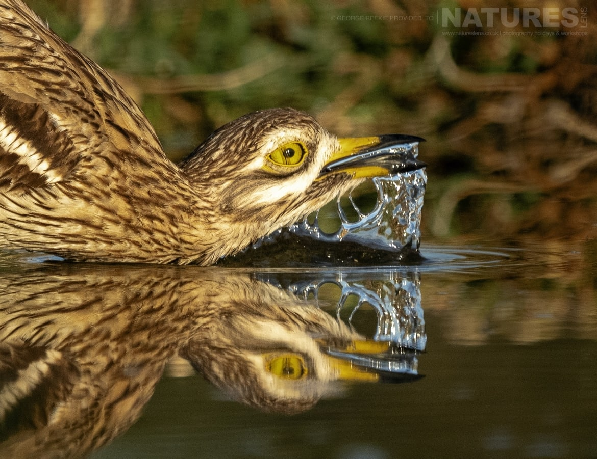 A drinking Stone Curlew reflected in one of the estates many water holes photographed during the NaturesLens Spanish Birdlife of Toledo photography holiday