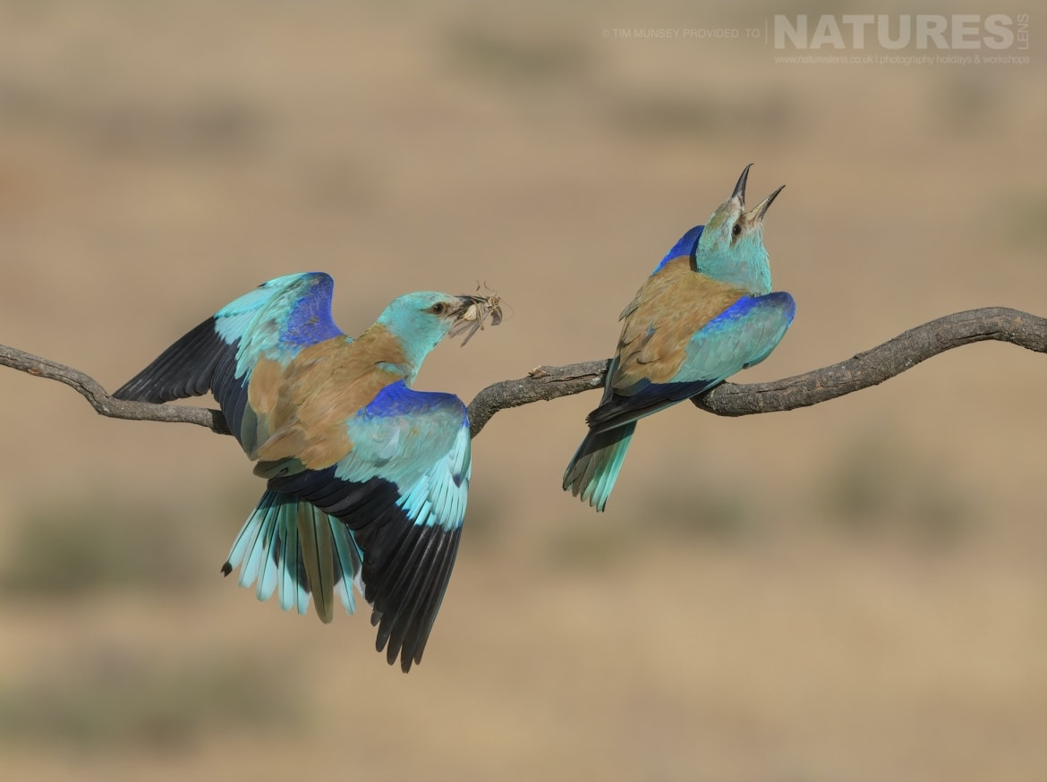 A duo of European Rollers on a perch photographed during the NaturesLens Spanish Wildlife Birdlife of Toledo Photography Holiday