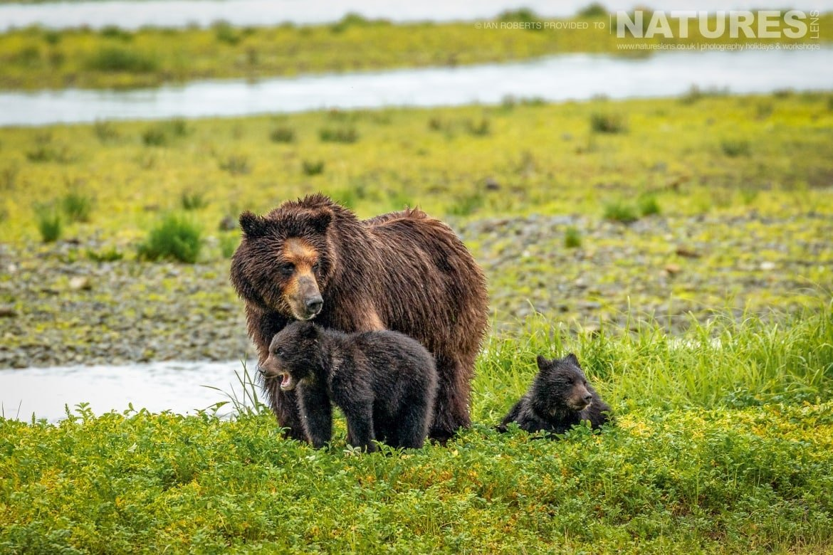 A female bear with two cubs at Pack Creek photographed during the Orcas Eagles Whales Glaciers of Alaska Photography Holiday