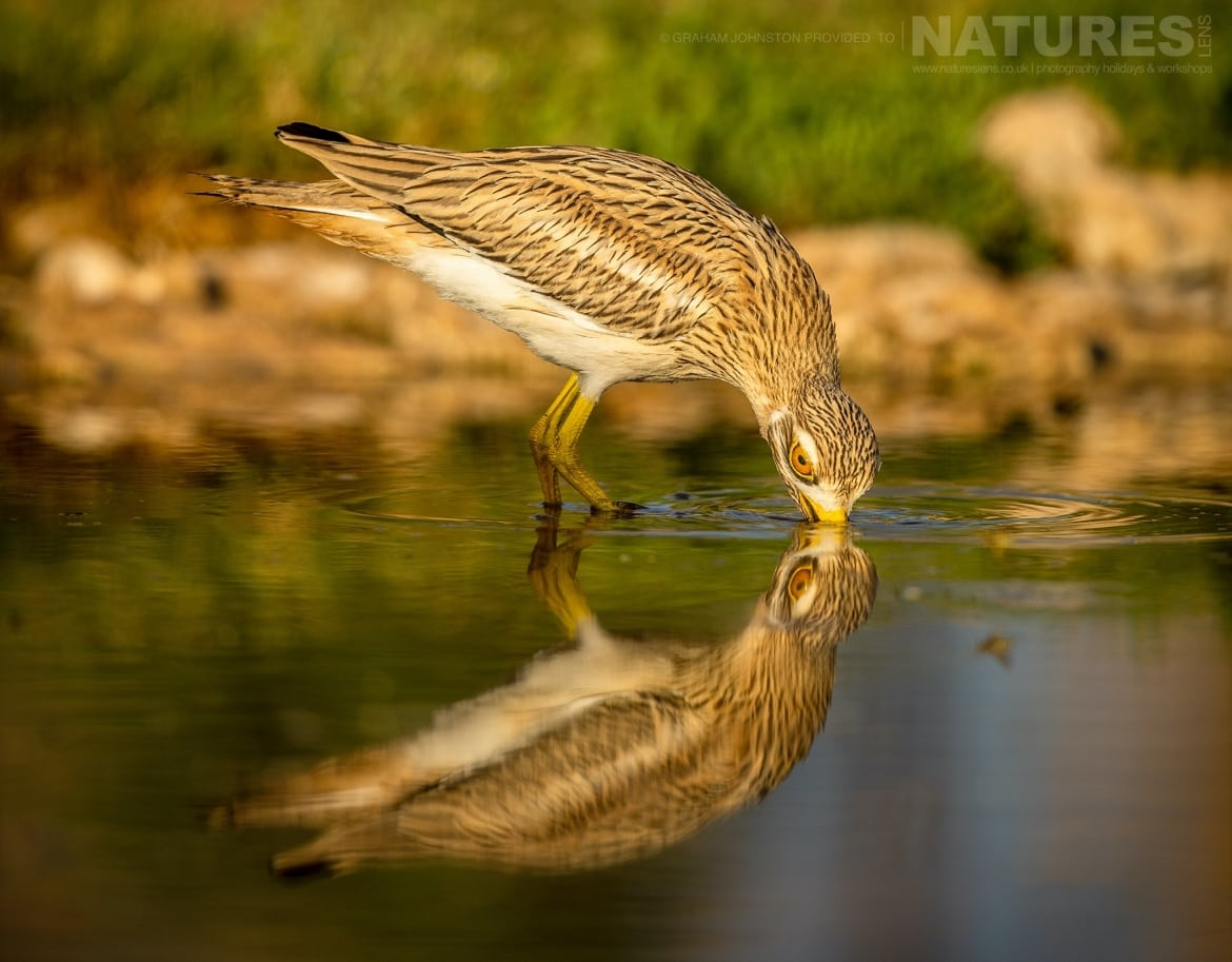 A gorgeously reflected stone curlew in one of the estates many water holes photographed during the NaturesLens Spanish Wildlife Birdlife of Toledo Photography Holiday