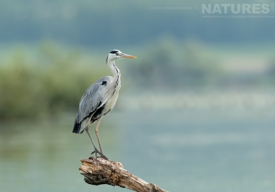 A greyheron perched on a submerged tree in the dead forest photographed during the Spring Birds of Kerkini photography Holiday conducted by NaturesLens