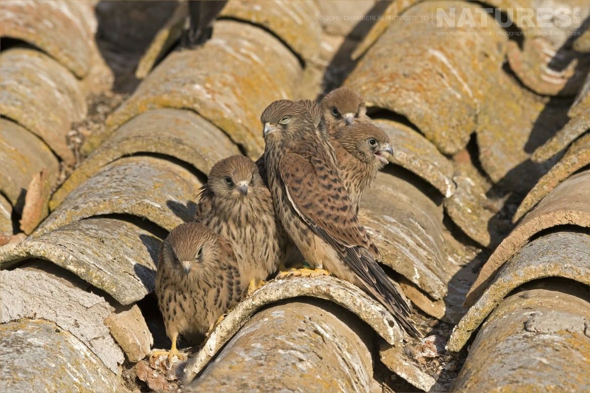 A group of six juvenile Lesser Kestrels on the farm building rooftop photographed during the Spanish Birdlife of Toledo Photography Holiday