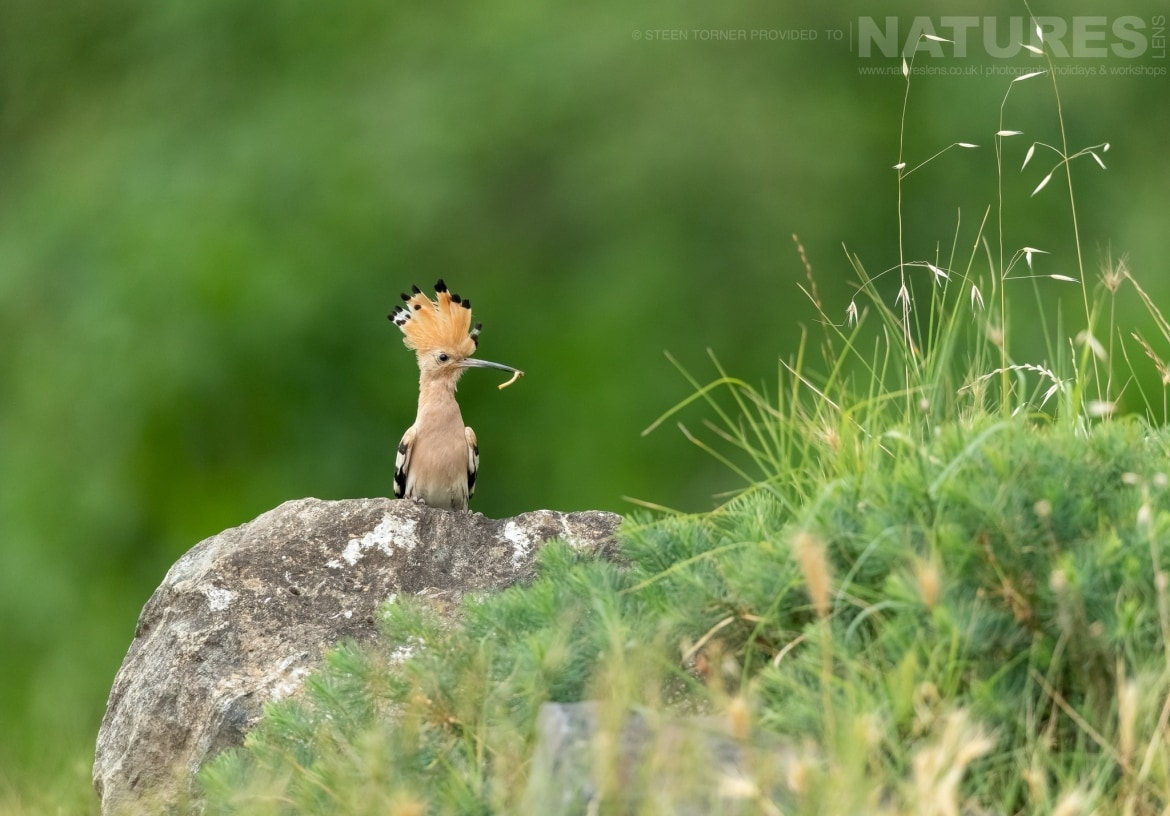 A hoopoe bringing food back to the nest found adjacent to Lake Kerkini photographed during the Spring Birds of Kerkini photography Holiday conducted by NaturesLens