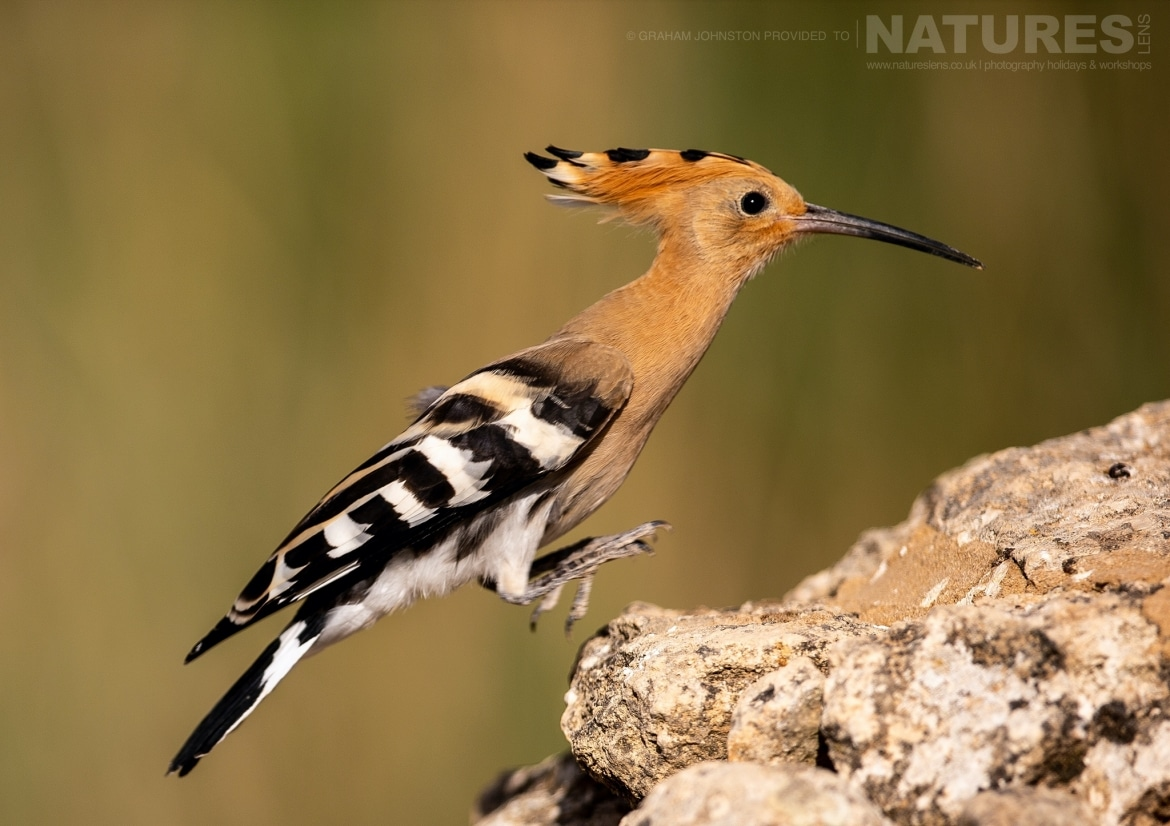 A hoopoe hops onto a stoney outcrop photographed during the NaturesLens Spanish Wildlife Birdlife of Toledo Photography Holiday