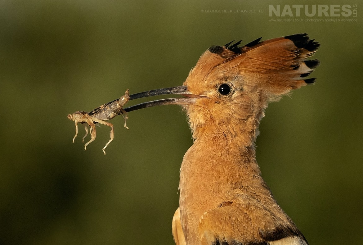 A hoopoe returns to the nest with a freshly caught insect photographed during the NaturesLens Spanish Birdlife of Toledo photography holiday
