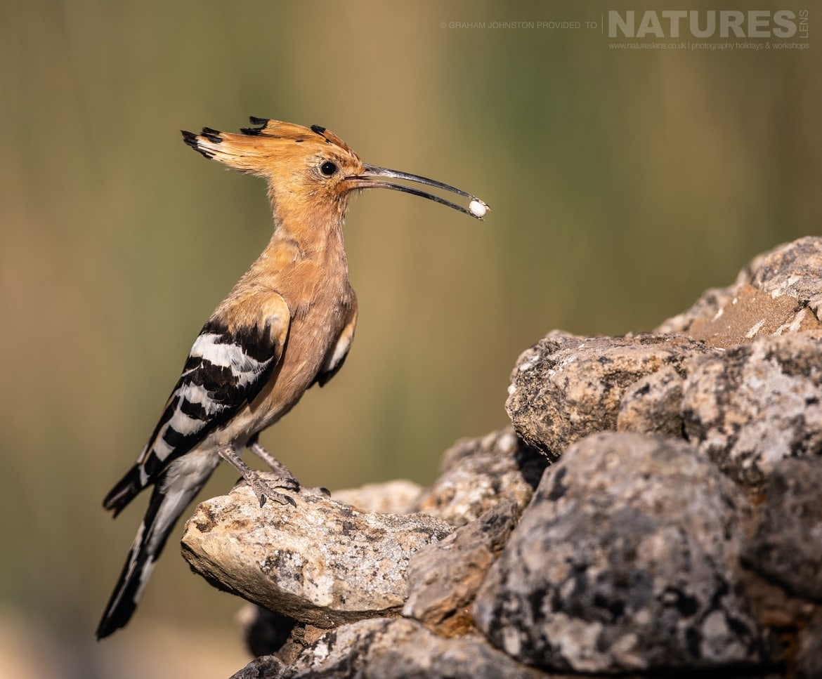 A hoopoe with freshly caught prey on a stoney outcrop photographed during the NaturesLens Spanish Wildlife Birdlife of Toledo Photography Holiday