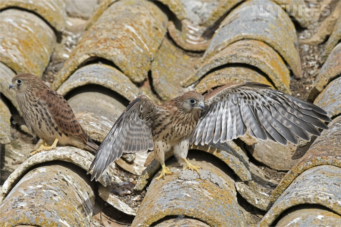 A juvenile Lesser Kestrel stretching its wings on the farm building rooftop photographed during the Spanish Birdlife of Toledo Photography Holiday