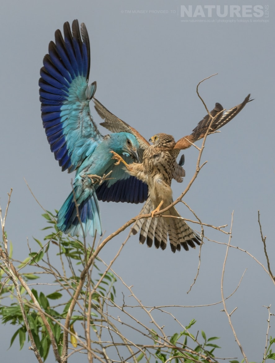 A lesser kestrel defends its territory against a European Roller photographed during the NaturesLens Spanish Wildlife Birdlife of Toledo Photography Holiday