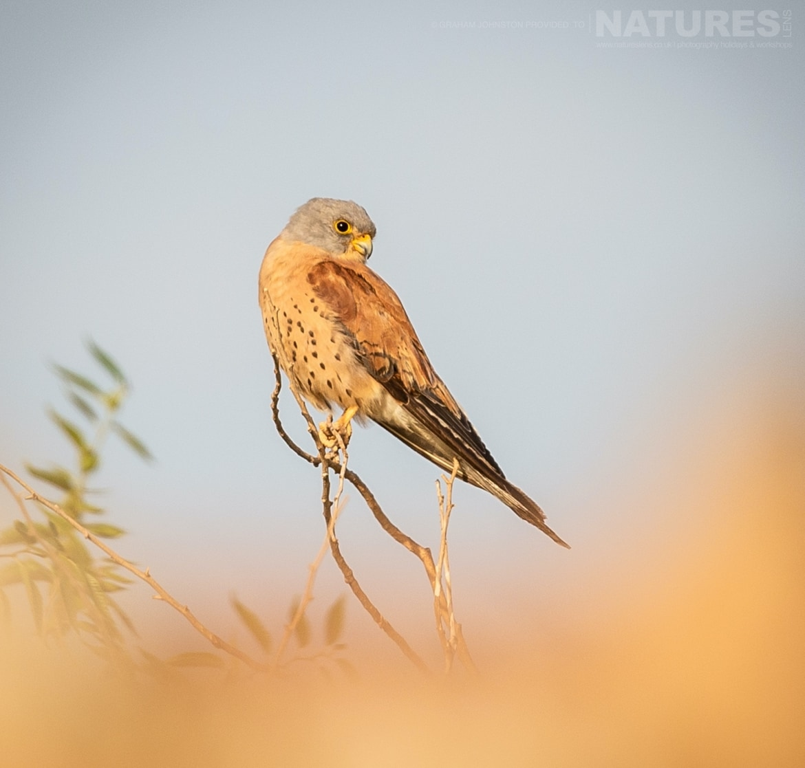A lesser kestrel perched on a tree photographed during the NaturesLens Spanish Wildlife Birdlife of Toledo Photography Holiday