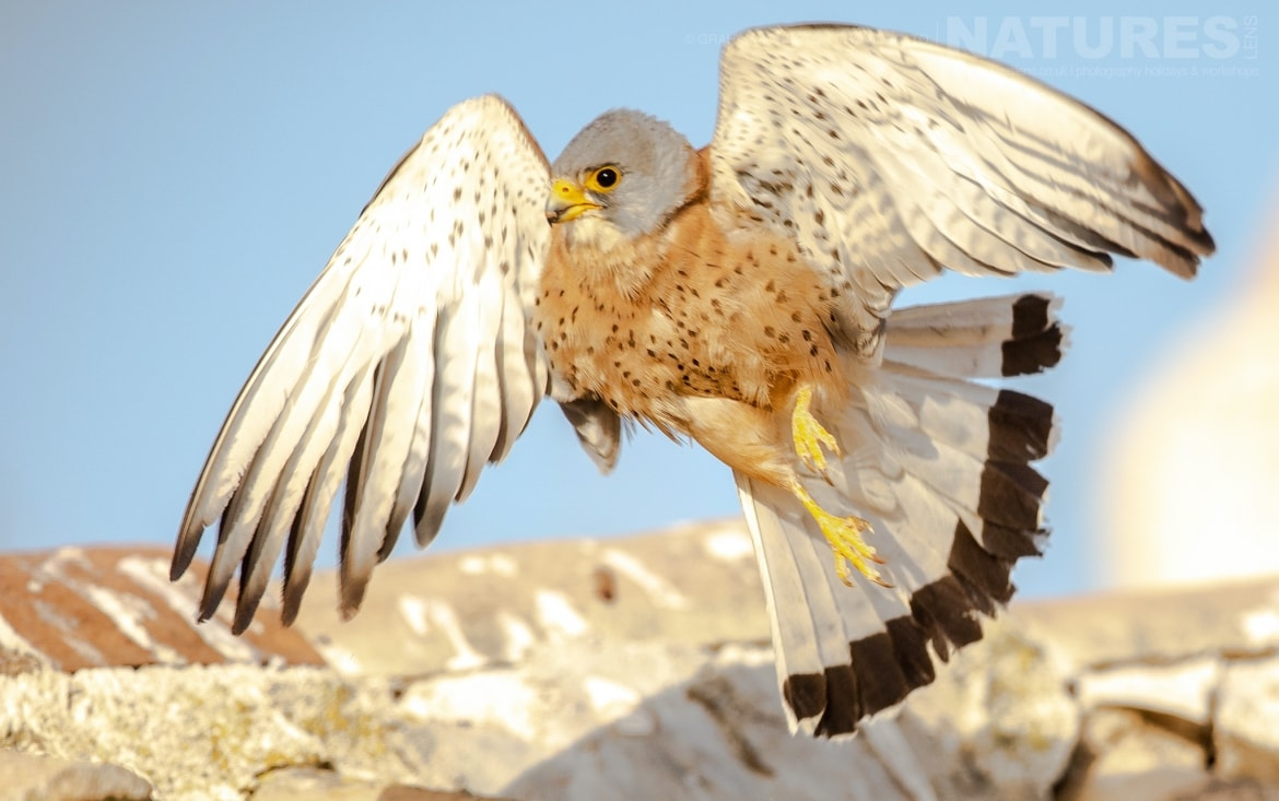 A lesser kestrel takes flight from the rootfop of the building which houses their colony photographed during the NaturesLens Spanish Wildlife Birdlife of Toledo Photography Holiday