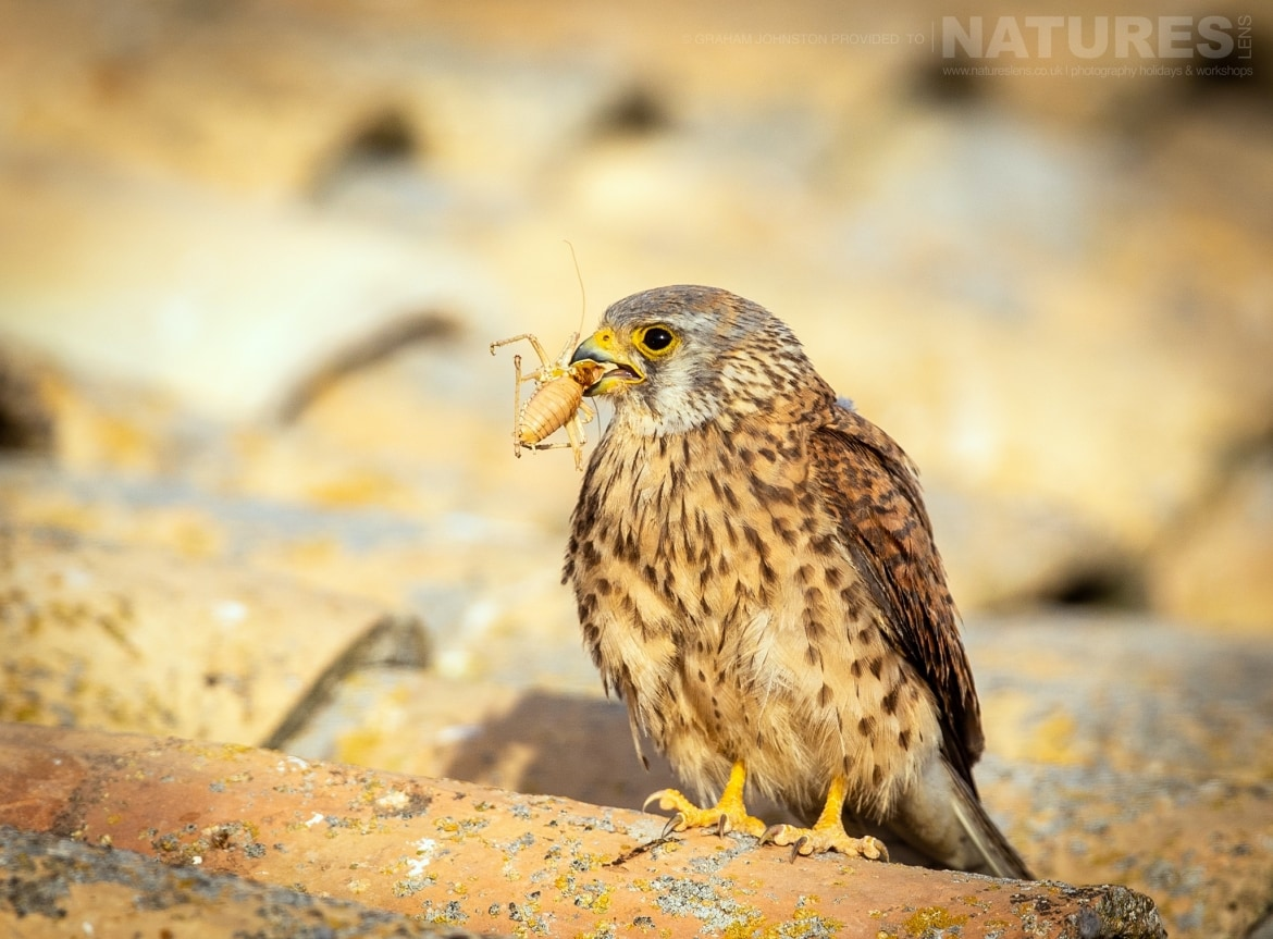 A lesser kestrel with freshly caught prey on the rootfop of the building which houses their colony photographed during the NaturesLens Spanish Wildlife Birdlife of Toledo Photography Holiday