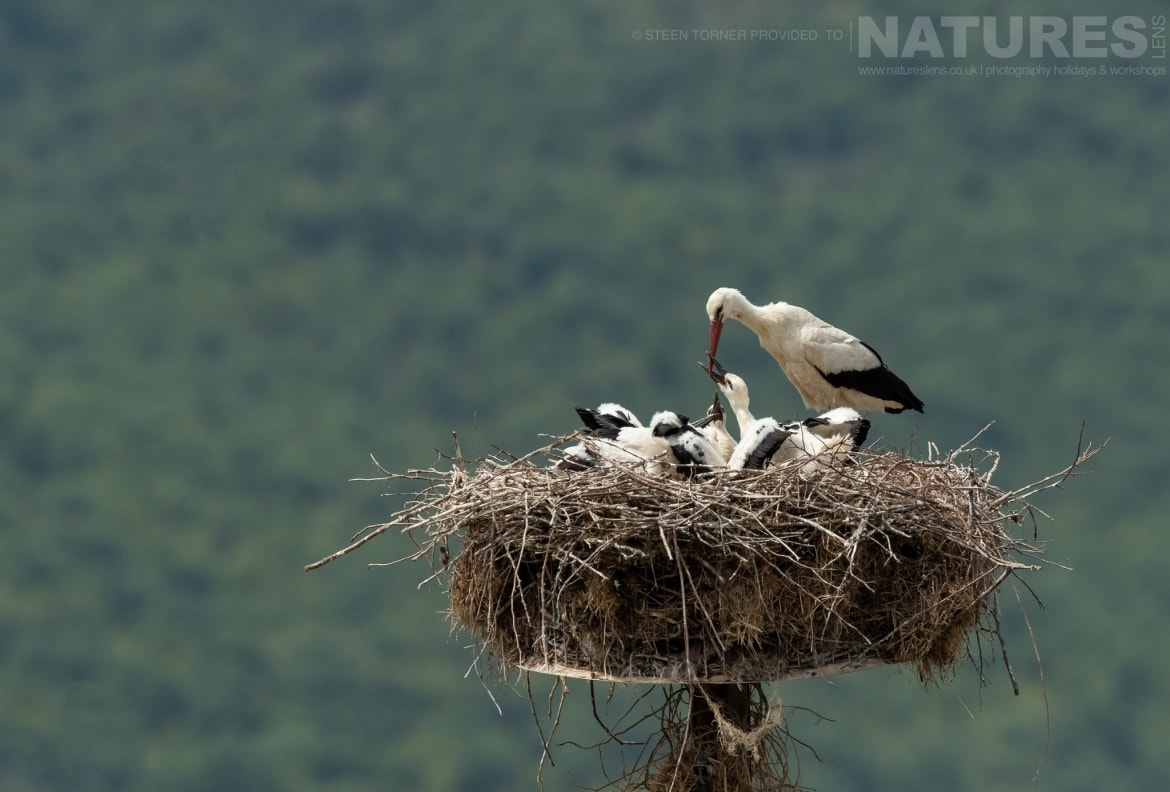 A nest of storks found within the village of Kerkini itself photographed during the Spring Birds of Kerkini photography Holiday conducted by NaturesLens