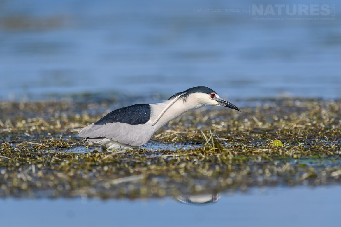 A night heron hunts for fish in the shallow waters of Lake Kerkini photographed during the Spring Birds of Kerkini photography Holiday conducted by NaturesLens