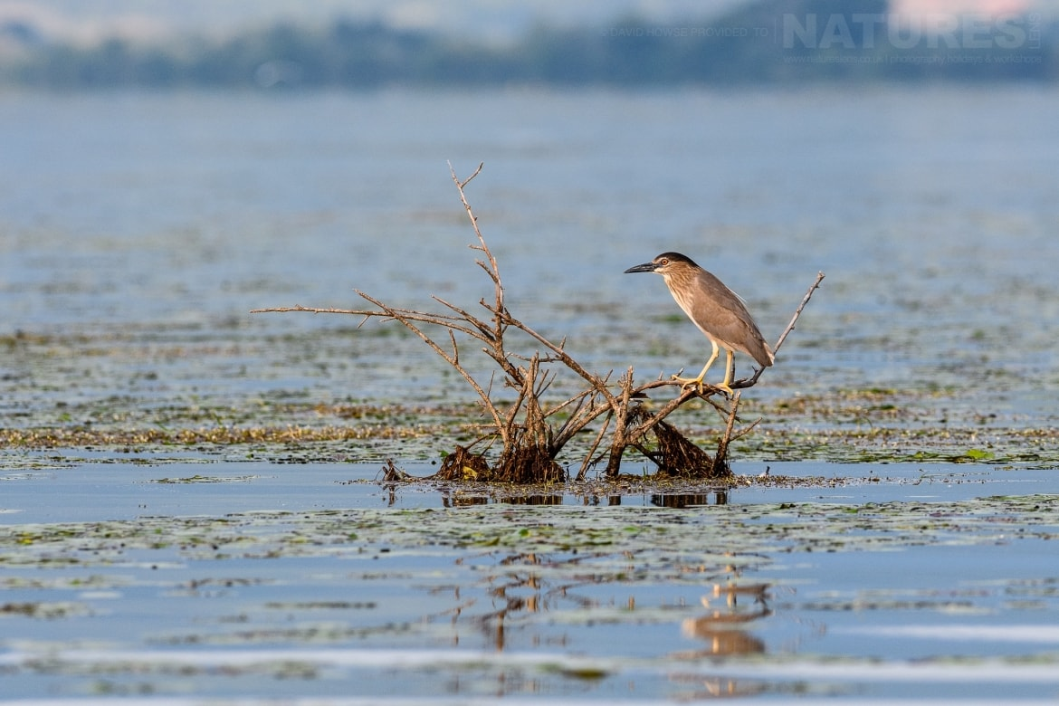 A night heron perched within the dead forest photographed during the Spring Birds of Kerkini photography Holiday conducted by NaturesLens