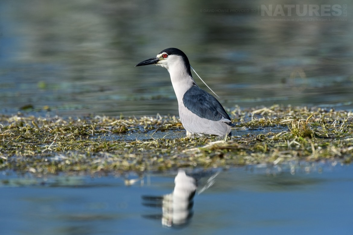A night heron reflected in the waters of Lake Kerkini photographed during the Spring Birds of Kerkini photography Holiday conducted by NaturesLens